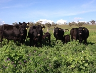 Gallery-Heifers-Calves